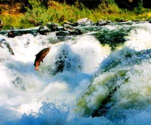 salmone scozzese controcorrente