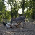 agriturismo assisi il giardino dei ciliegi - asino1