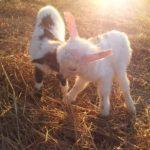 Pecorelle - La casa di Campagna Magione